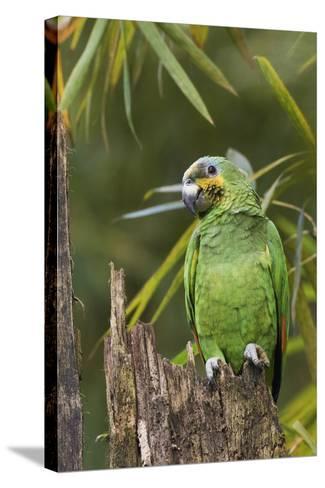 Orange-Winged Parrot-Ken Archer-Stretched Canvas Print