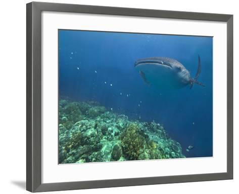 Whale Shark over Reef, Cebu, Philippines-Tim Fitzharris-Framed Art Print