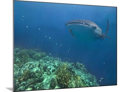 Whale Shark over Reef, Cebu, Philippines-Tim Fitzharris-Mounted Photographic Print