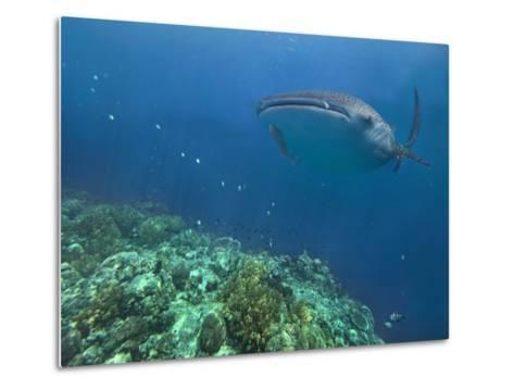 Whale Shark over Reef, Cebu, Philippines-Tim Fitzharris-Metal Print