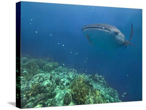 Whale Shark over Reef, Cebu, Philippines-Tim Fitzharris-Stretched Canvas Print