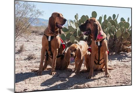 Search and Rescue Bloodhounds in the Sonoran Desert-Zandria Muench Beraldo-Mounted Photographic Print