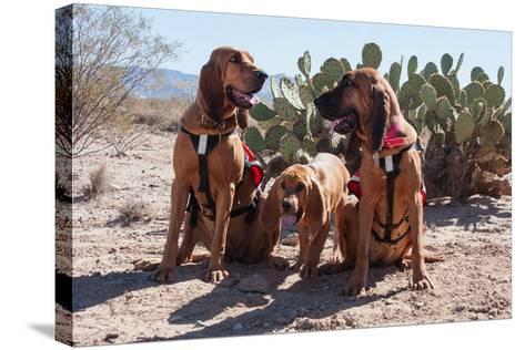 Search and Rescue Bloodhounds in the Sonoran Desert-Zandria Muench Beraldo-Stretched Canvas Print