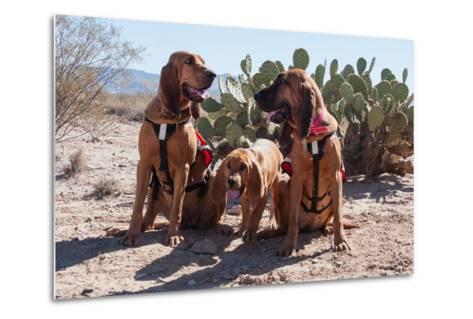 Search and Rescue Bloodhounds in the Sonoran Desert-Zandria Muench Beraldo-Metal Print