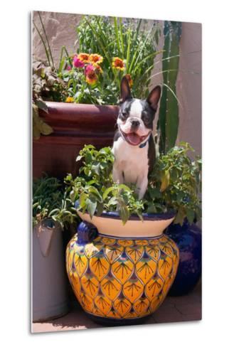 Boston Terrier in Garden Flower Pot-Zandria Muench Beraldo-Metal Print