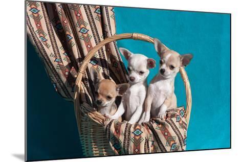 Chihuahua Puppies in a Basket-Zandria Muench Beraldo-Mounted Photographic Print