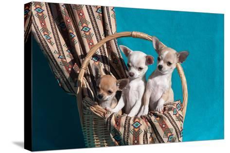 Chihuahua Puppies in a Basket-Zandria Muench Beraldo-Stretched Canvas Print