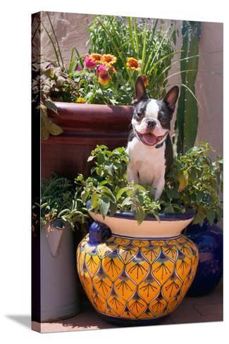 Boston Terrier in Garden Flower Pot-Zandria Muench Beraldo-Stretched Canvas Print