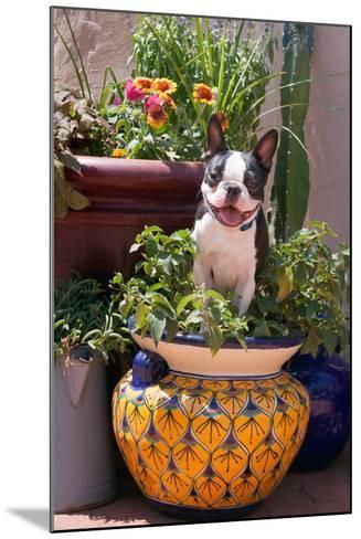 Boston Terrier in Garden Flower Pot-Zandria Muench Beraldo-Mounted Photographic Print