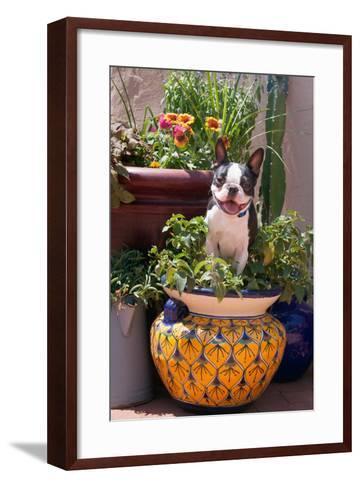 Boston Terrier in Garden Flower Pot-Zandria Muench Beraldo-Framed Art Print