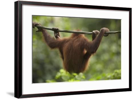 Baby Orangutan, Sabah, Malaysia-Tim Fitzharris-Framed Art Print