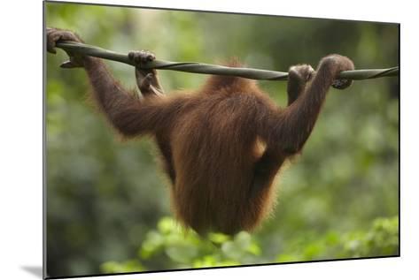 Baby Orangutan, Sabah, Malaysia-Tim Fitzharris-Mounted Photographic Print
