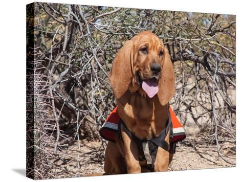 Search and Rescue Bloodhound in Training in the Sonoran Desert-Zandria Muench Beraldo-Stretched Canvas Print