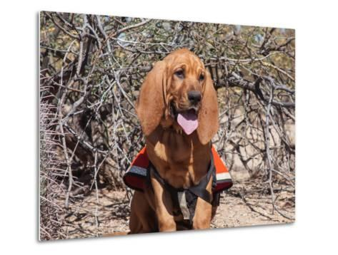 Search and Rescue Bloodhound in Training in the Sonoran Desert-Zandria Muench Beraldo-Metal Print