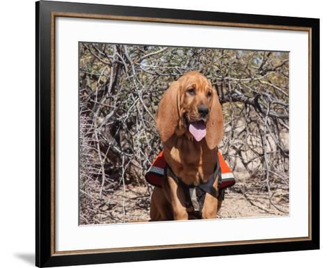 Search and Rescue Bloodhound in Training in the Sonoran Desert-Zandria Muench Beraldo-Framed Art Print