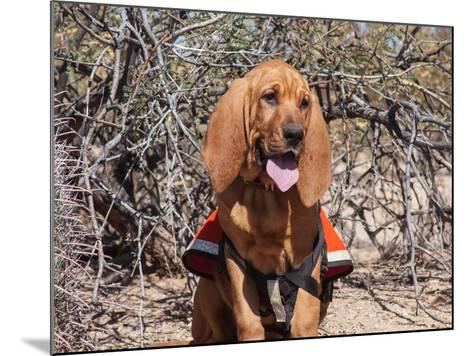 Search and Rescue Bloodhound in Training in the Sonoran Desert-Zandria Muench Beraldo-Mounted Photographic Print
