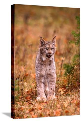 A Bobcat Out Hunting in an Autumn Colored Forest-John Alves-Stretched Canvas Print