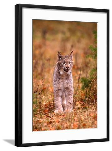 A Bobcat Out Hunting in an Autumn Colored Forest-John Alves-Framed Art Print