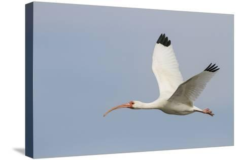 White Ibis in Flight-Larry Ditto-Stretched Canvas Print