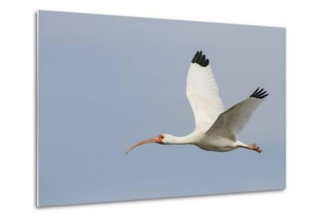 White Ibis in Flight-Larry Ditto-Metal Print