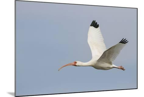 White Ibis in Flight-Larry Ditto-Mounted Photographic Print