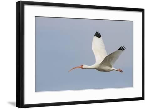 White Ibis in Flight-Larry Ditto-Framed Art Print