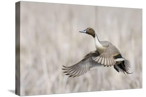 Pintail Duck in Flight-Ken Archer-Stretched Canvas Print