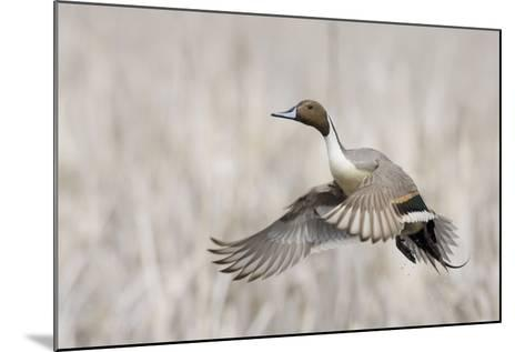 Pintail Duck in Flight-Ken Archer-Mounted Photographic Print