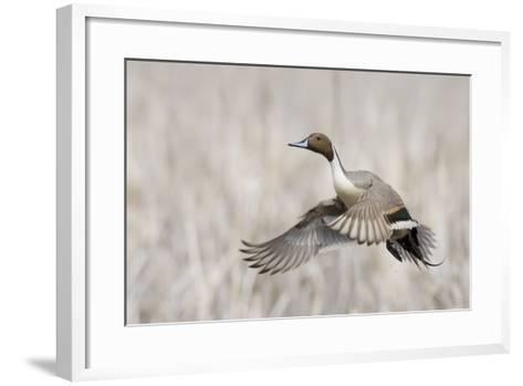 Pintail Duck in Flight-Ken Archer-Framed Art Print