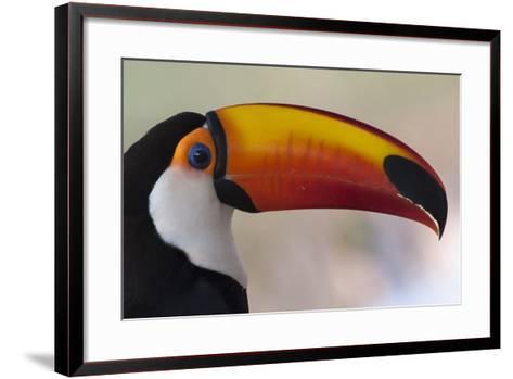 Brazil, the Pantanal Wetland, Toco Toucan in Early Morning Light-Judith Zimmerman-Framed Art Print