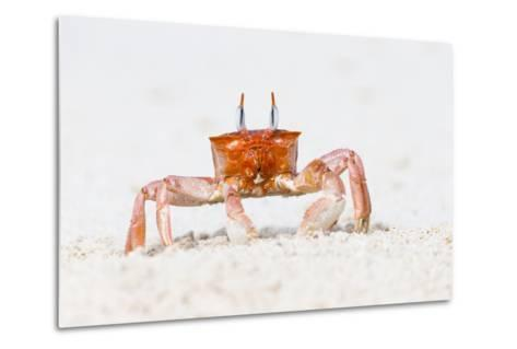 Ecuador, Galapagos Islands, San Cristobal, Cerro Brujo. Ghost Crab Portrait-Ellen Goff-Metal Print
