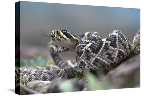 Threat Display of a Young Eastern Diamondback Rattlesnake, Costa Rica-Tim Fitzharris-Stretched Canvas Print