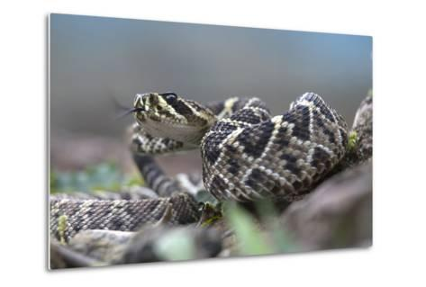 Threat Display of a Young Eastern Diamondback Rattlesnake, Costa Rica-Tim Fitzharris-Metal Print