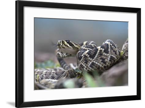 Threat Display of a Young Eastern Diamondback Rattlesnake, Costa Rica-Tim Fitzharris-Framed Art Print