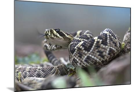 Threat Display of a Young Eastern Diamondback Rattlesnake, Costa Rica-Tim Fitzharris-Mounted Photographic Print