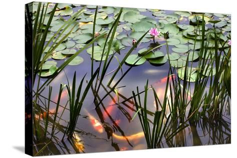 Orange White Carp Fish Pink Water Lily Pond Chengdu Sichuan, China-William Perry-Stretched Canvas Print