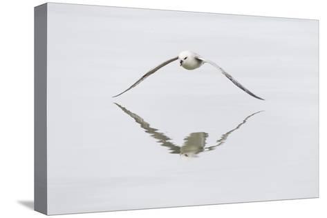 Norway, Svalbard, Northern Fulmar in Flight-Ellen Goff-Stretched Canvas Print