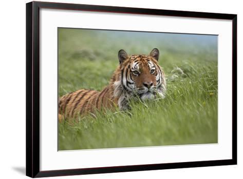 Siberian Tiger. Montana, Usa-Tim Fitzharris-Framed Art Print