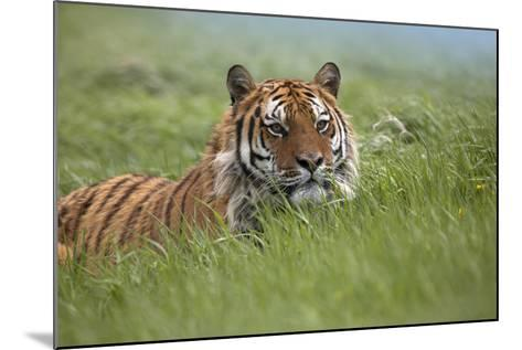 Siberian Tiger. Montana, Usa-Tim Fitzharris-Mounted Photographic Print