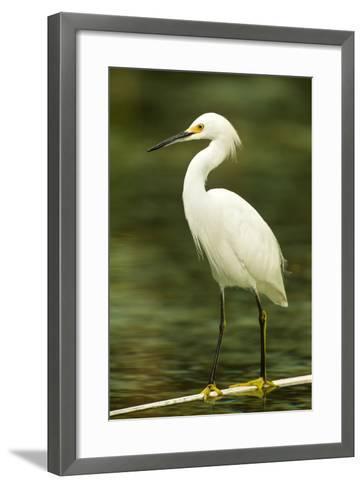 Americas. Egretta Thula, Snowy Egret Juvenile , Tropical Forest-David Slater-Framed Art Print