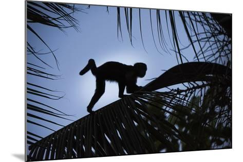 Brown Capuchin, Guyana-Pete Oxford-Mounted Photographic Print