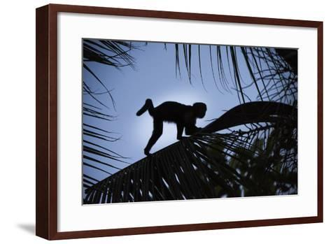 Brown Capuchin, Guyana-Pete Oxford-Framed Art Print
