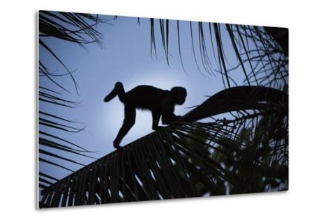 Brown Capuchin, Guyana-Pete Oxford-Metal Print