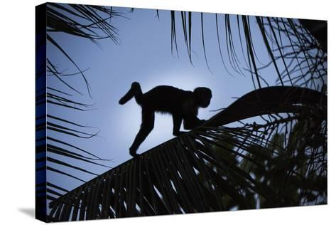 Brown Capuchin, Guyana-Pete Oxford-Stretched Canvas Print