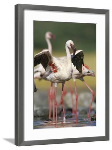 Lesser Flamingo Stretching, Kenya, Africa-Tim Fitzharris-Framed Art Print