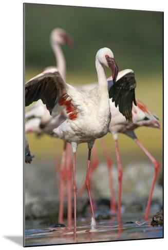 Lesser Flamingo Stretching, Kenya, Africa-Tim Fitzharris-Mounted Photographic Print