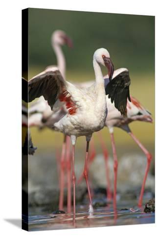 Lesser Flamingo Stretching, Kenya, Africa-Tim Fitzharris-Stretched Canvas Print