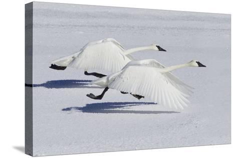 Trumpeter Swans Taking Flight-Ken Archer-Stretched Canvas Print