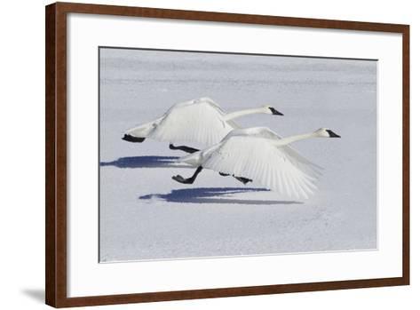 Trumpeter Swans Taking Flight-Ken Archer-Framed Art Print