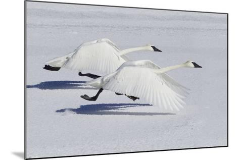 Trumpeter Swans Taking Flight-Ken Archer-Mounted Photographic Print